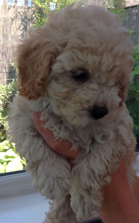 puppies for sale in east cavapoo puppies for sale east sussex ready 6 aug robertsbridge east sussex pets4homes