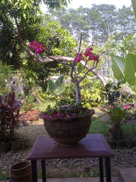indonesia tourism  membuat tanaman hias adenium