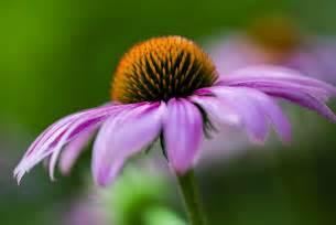 flower photography coneflower madison indiana photography