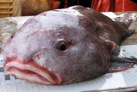 world s ugliest this blobfish is the world s ugliest animal business insider