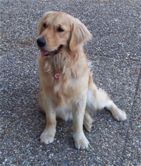 show me a picture of a baby golden retriever 17 best images about golden retrievers on to be and show