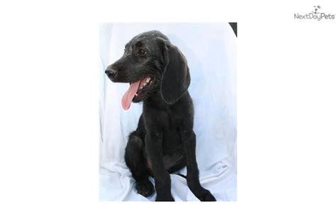 weimardoodle puppies for sale meet remmington a weimardoodle puppy for sale for 500 remmington 3sm