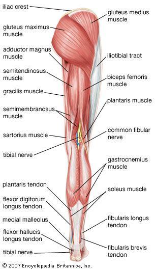 leg anatomy britannicacom