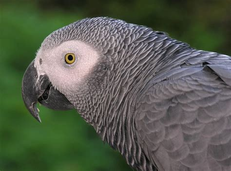 sle of grey grey parrot for sale new york