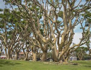pictures of trees coral trees seaport village in san diego coral trees sea flickr