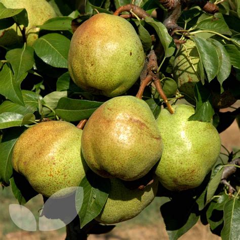 pear tree not producing fruit pear garden gem fruit trees for sale