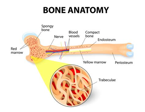 bone marrow section what is bone marrow what does bone marrow do 171 nebraska