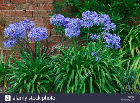 agapanthus blue giant stock photo royalty free image 22754236 alamy