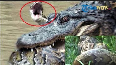 film ular vs ular foto fakta fakta mengerikan sanca batik ini mungkin di