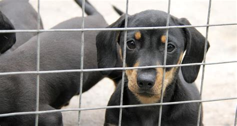 smuggling puppies how does dogs trust care for smuggled puppies seized at uk borders dogs trust