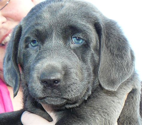 maine lab puppies silver valley kennels silver and charcoal gray labrador retrievers silver lab