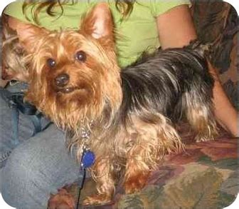yorkie rescue tx yorkie rescue breeds picture