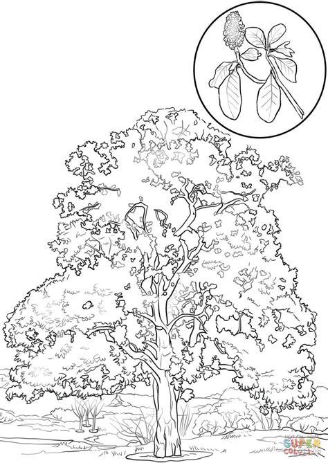 realistic tree coloring page disegno di magnolia sempreverde da colorare disegni da