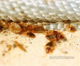 bed bug infestation signs prevention treatment pictures