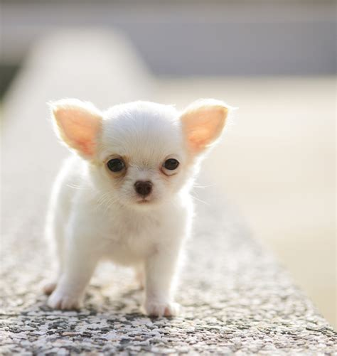 chiwawa puppy apple chihuahua care facts and pictures