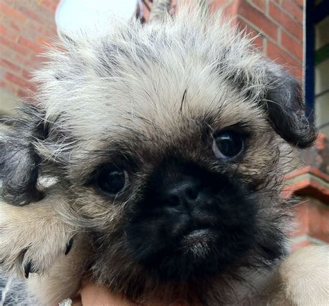 cross breed pug rosie our 3 4 pug cross southton hshire pets4homes