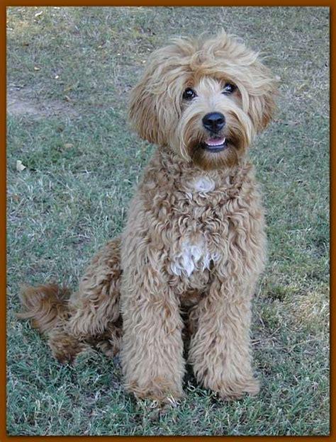 labradoodle puppy coat change labradoodle color change