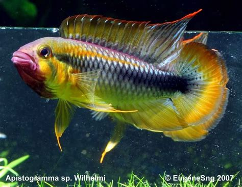 Ikan Apisto Agassizi Gold Apistogramma Agassizi Gold the world s catalog of ideas