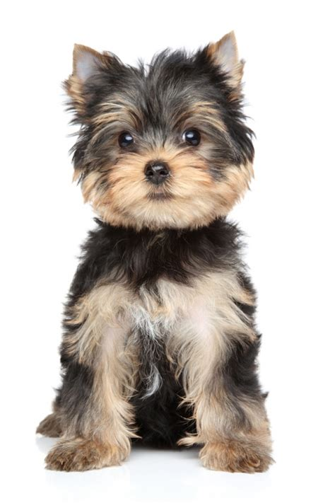 yorkie terrier terrier caract 232 re 233 ducation sant 233 entretien