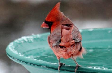 cardinal at winter bird bath my love of birds pinterest