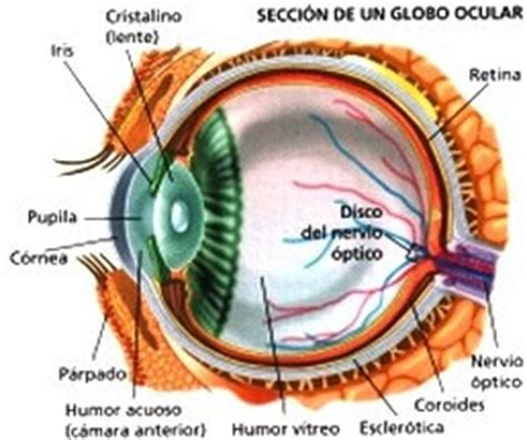 imagenes de ojos y oidos anatomia