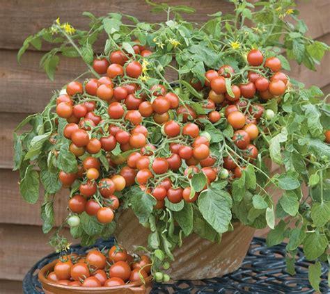 Benih Bibit Seeds Sayur Tomat Coklat Tomato Black Prince Toma 1 Bibit Tomat Cherry Falls