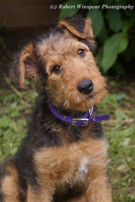 airedale terrier puppy 11 week airedale terrier puppy airedales