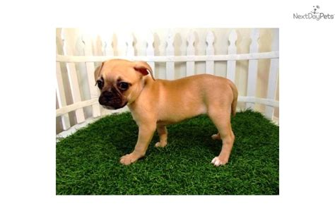 pug puppies san diego for sale frug breed breeds picture