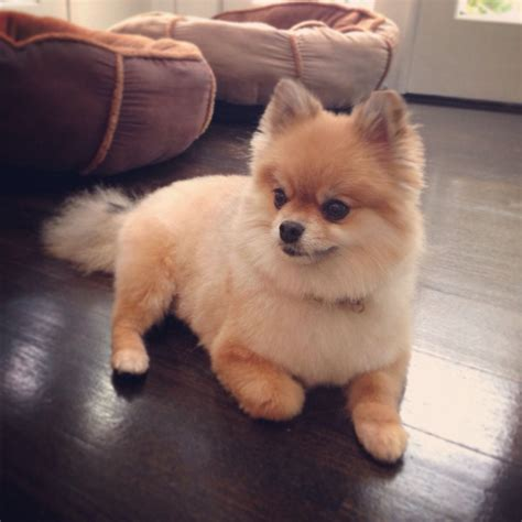 pomeranian with hair small pomeranian haircuts breeds picture