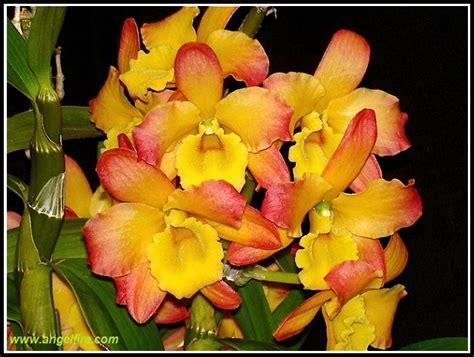 orchidea come farla fiorire orchidofilia orchidea dendrobium nobile come farla fiorire
