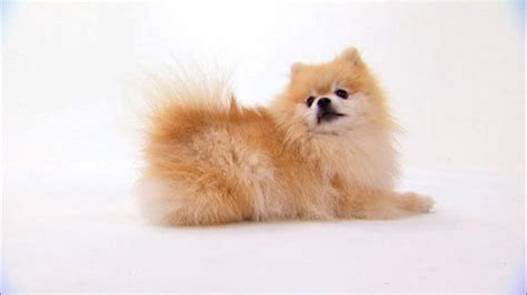show me pictures of pomeranian puppies pomeranian dogs 101 animal planet