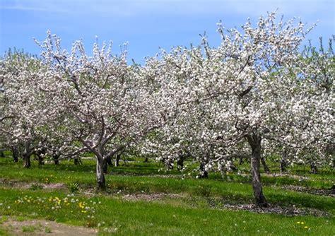 apple trees in bloom for denny pinterest