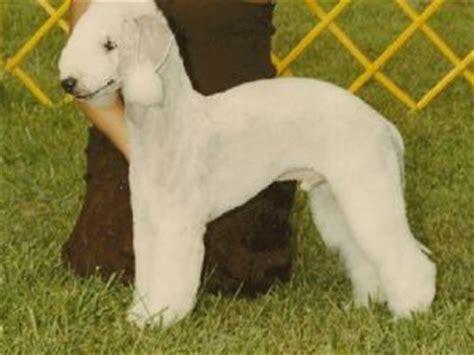 bedlington terrier puppies for sale bedlington terrier puppies for sale