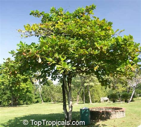 terminalia catappa health effects and herbal facts