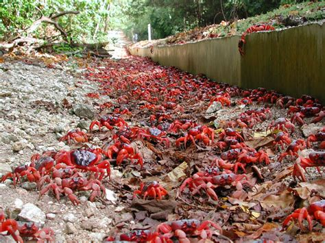 images of christmas island the cockroach catcher christmas island red crab migration