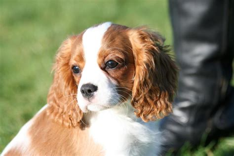 cavalier king charles spaniel puppies price cavalier king charles spaniel puppies for sale elke hennrich 1 4866 dogs for sale