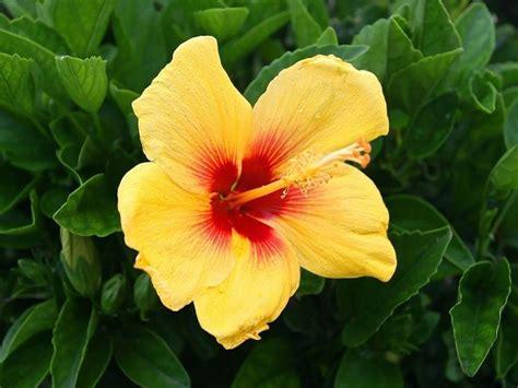 fiori ibiscus ibiscus hibiscus piante da giardino coltivazione