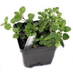 Bibit Oregano jual bibit tanaman benih tanaman kirim ke seluruh