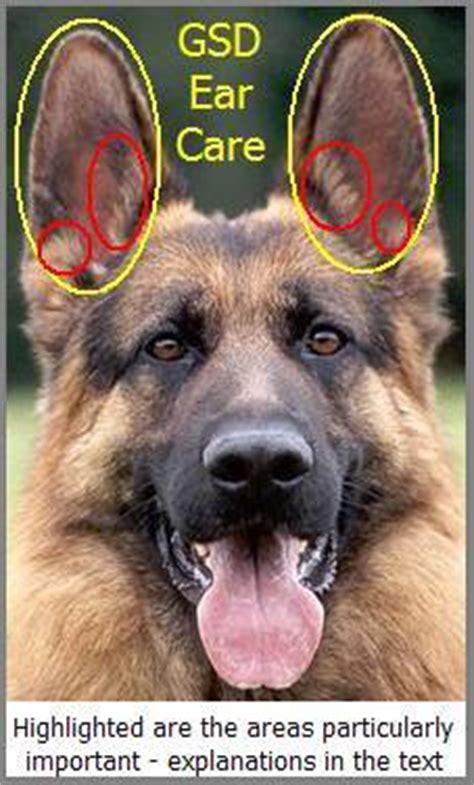 german shepherd puppies ears gsd ear care mygermanshepherd org