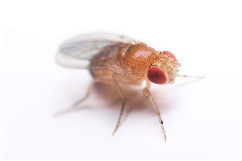 images of fruit flies fruit fly facts and information terro 174