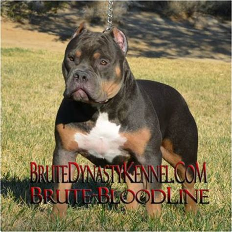 bully puppies for sale in ny american bully pitbulls and puppies for sale brute bloodline brute dynasty kennel in