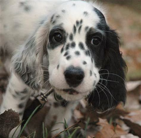 and white setter puppies 60 most beautiful setter pictures and photos