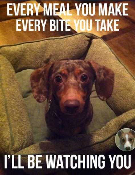 Funny Dachshund Memes - best 25 dachshund humor ideas on pinterest weiner dogs