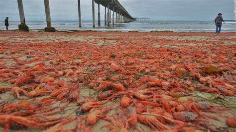 Southern California Crustaceans The Heiress Crab by Tuna Crabs Invade San Diego Beaches