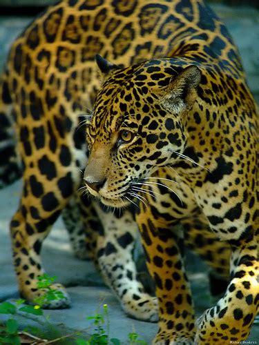 is jaguar endangered are jaguars endangered