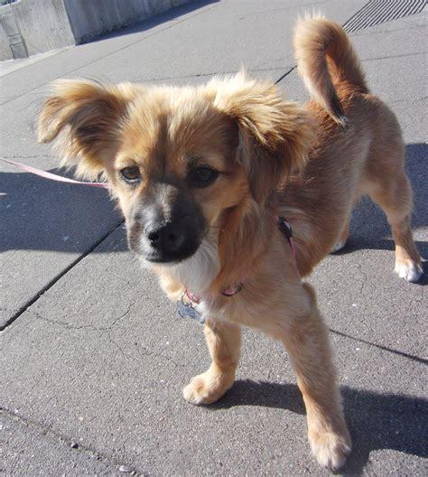 pomeranian chihuahua mix size evildoers beware the dogs of san franciscothe dogs of san francisco