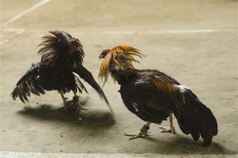 pelea de gallos en la feria de texcoco 2016 peleas de gallos feria del 2016 pelea de gallos en la