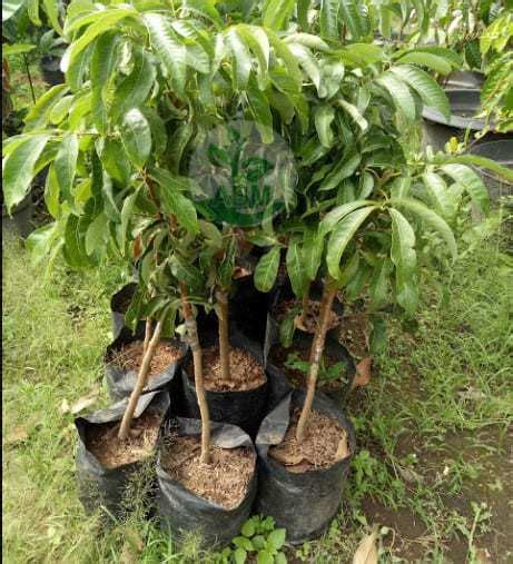 Bibit Kelengkeng Makassar jual tanaman kelengkeng longan bibit