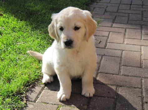 hund golden retriever kleiner hund tier golden retriever s 252 ss
