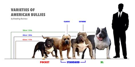 american bully what is the american bully here is the bully breed 101